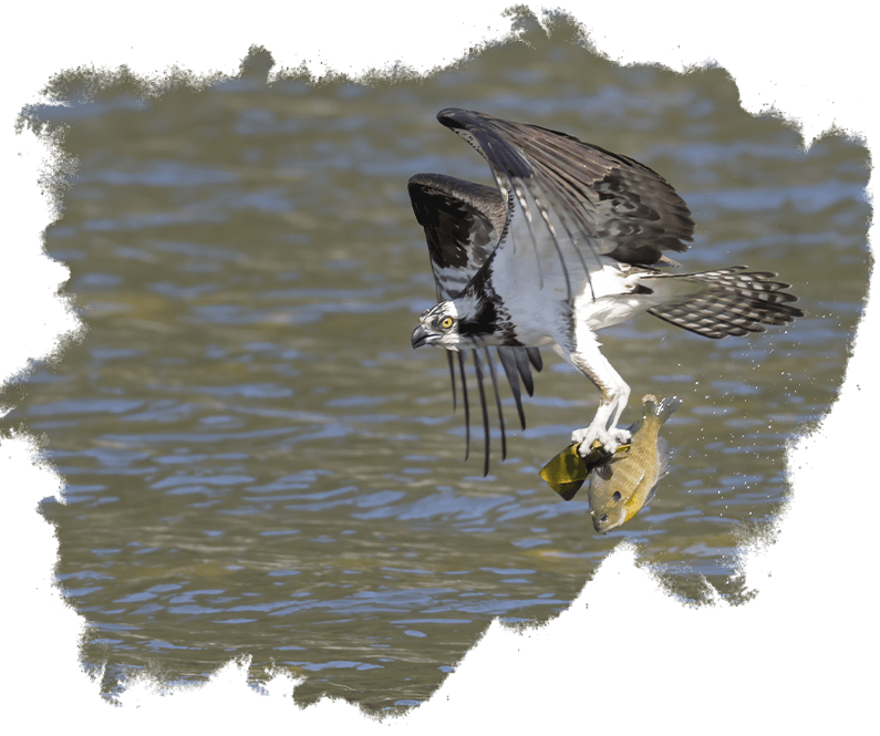 An osprey flies off with a fish in its talons